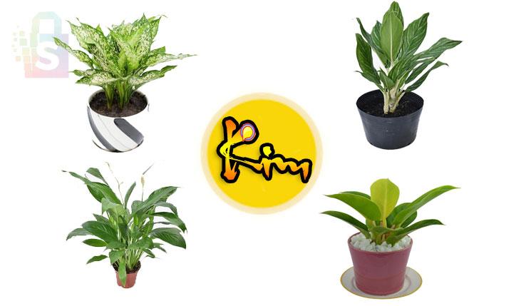 Mệnh Kim trồng cây gì? Cây phong thủy cho người mệnh Kim?